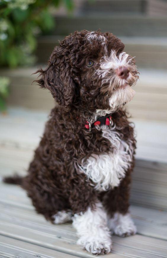 cachorro perro de aguas español