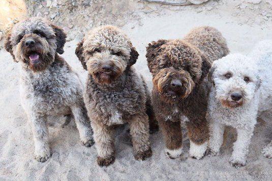 curiosidades perro de aguas español