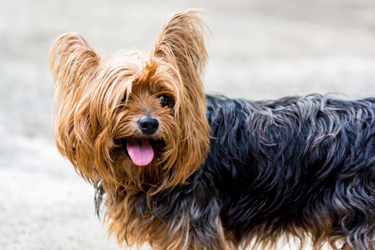 todo sobre el yorkshire terrier