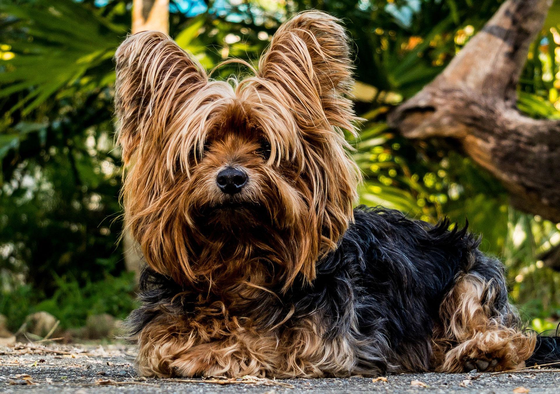 todo lo que necesitas saber sobre el yorkshire terrier