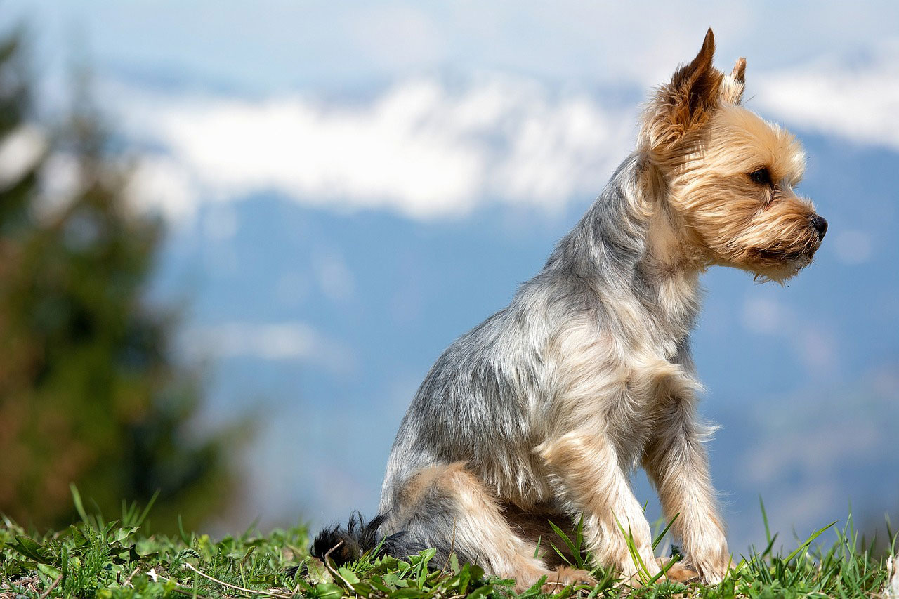 educación y comportamiento del yorkshire terrier