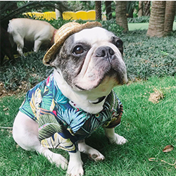 camisas comodas para perros pequeños