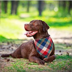 pañuelos perros