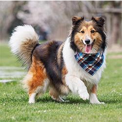 pañuelos de perros