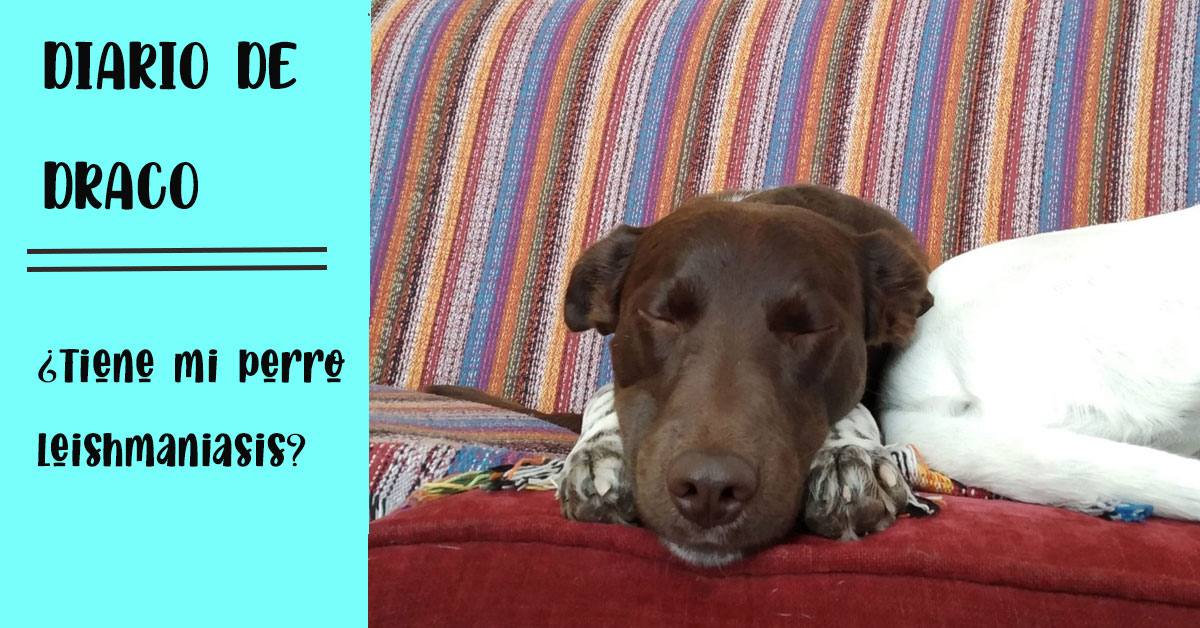 cómo saber si mi perro adoptado leishmaniasis