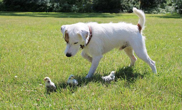 las mejores razas de perros para cuidar gallinas