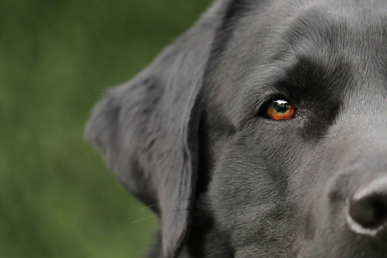Cómo eliminar los ácaros en las orejas de los perros